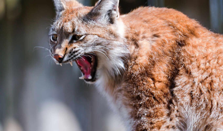 animal, рысь, zhivotnye, фон, кот, хищник,