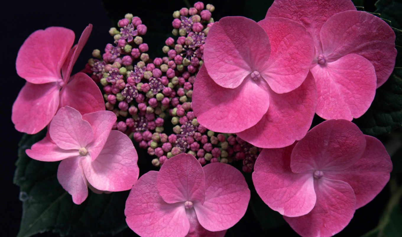 цветы, гортензия, макро,