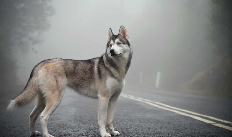 пес, хаски, дорога, туман,