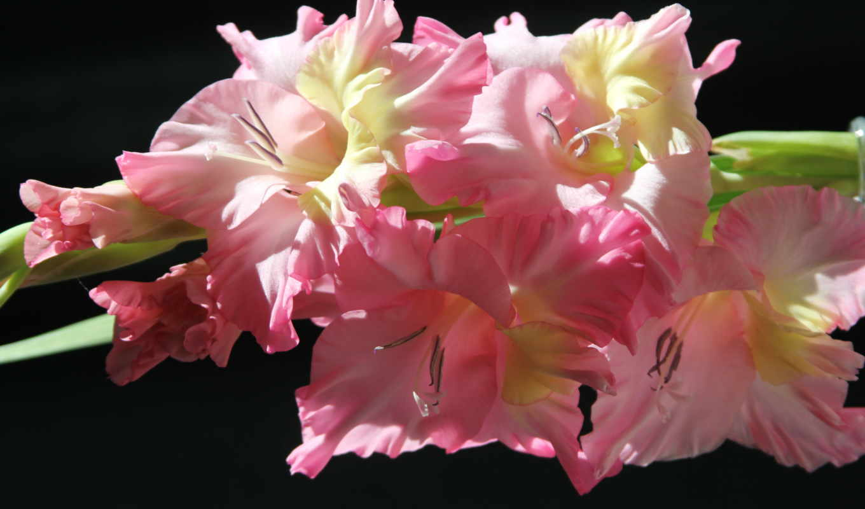 гладиолусы, цветы, розовый,