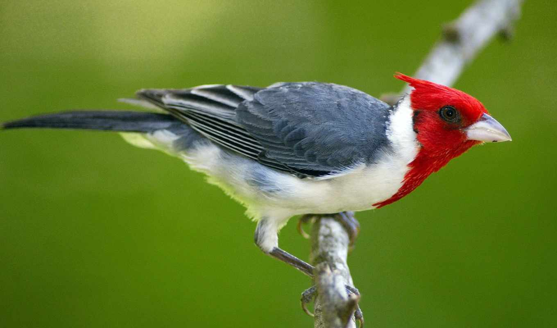 птицы, птица, красным, хохолком, февр, zhivotnye,
