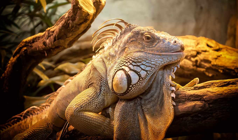 ящер, iguana, mexico, zhivotnye, зелёный, природа, метки, reptile,