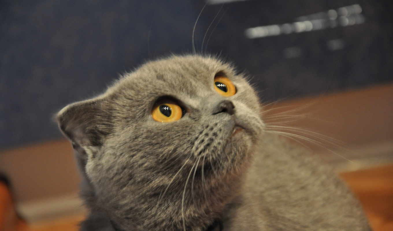 кот, begging, cats, eyes, high, yellow,