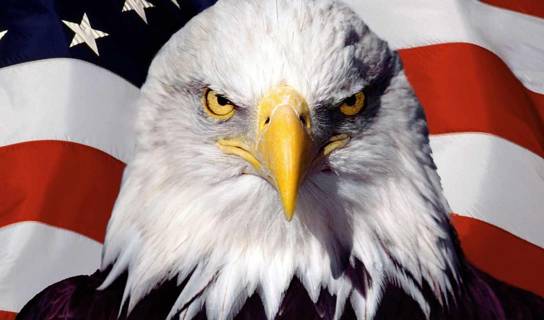 орлан, лысый, free, американский,