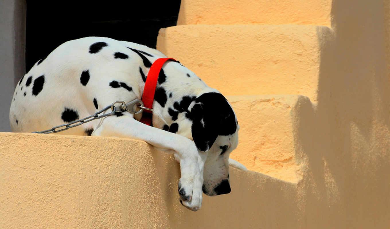 щенок, ошейник, dalmatian, собака, ошейником, красным, лежит, грустный, собаки, щенки,