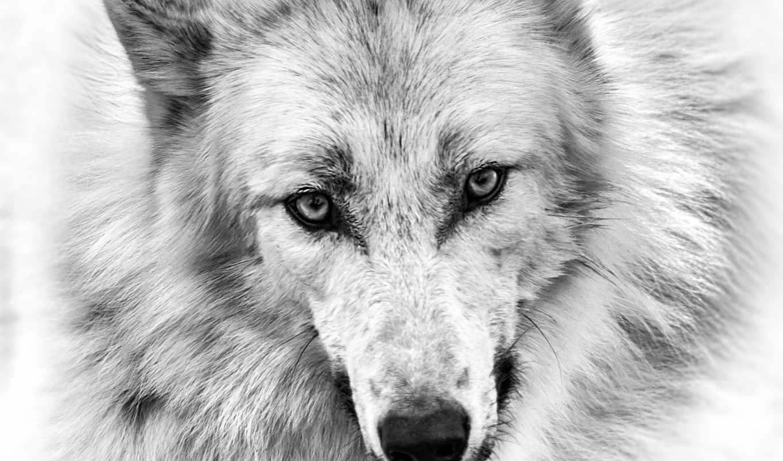 волк, art, wolves, pinterest, images, see, print, more, best, ideas,