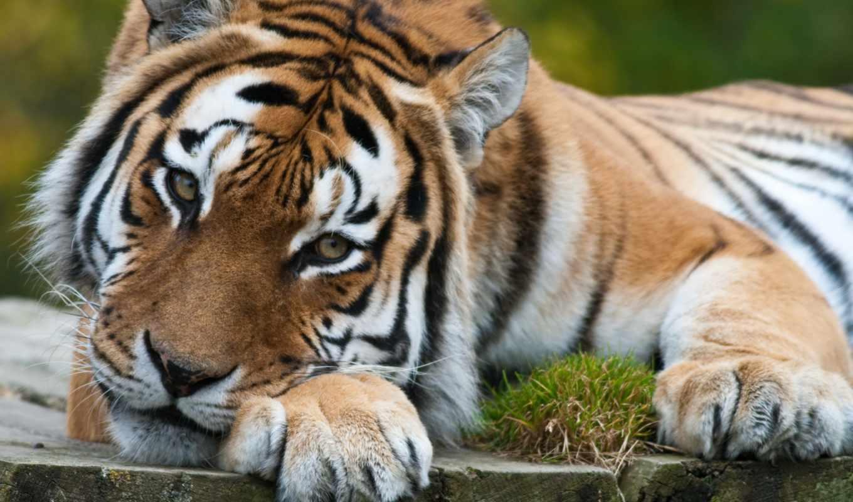 you, взгляд, фотографии, животные, mix, super, share, тигр, тигры, лапы, flag, тигров,