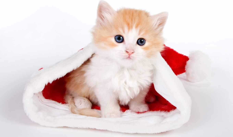 cute, santa, kitten, hat,