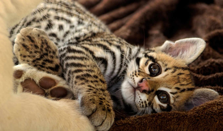 оцелот, cute, котенок, have, отдых, кот, desktop, resolution,