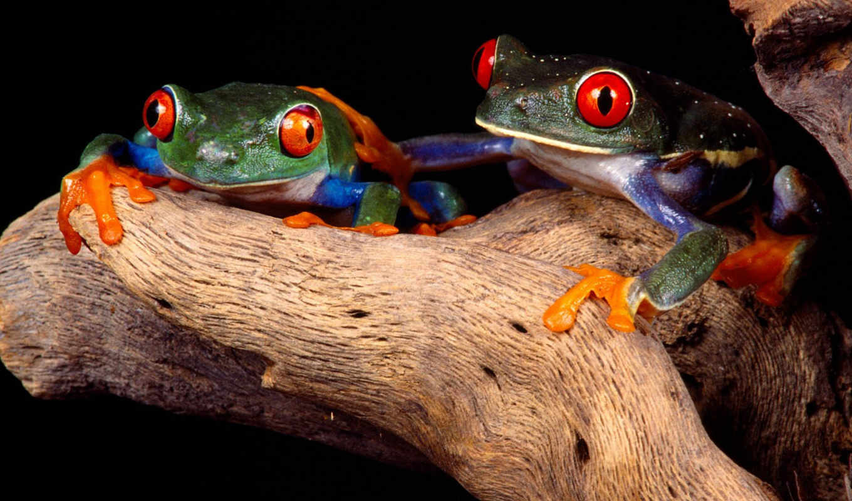 frogs, две, tree, red, eyed, best, лягушки, animal, buddies, frog, картинку, картинка, жабы, животными, зеленые, альбом, чтобы, красными, изображение,
