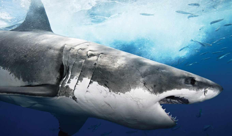 акулы, акула, акул, лет, time,