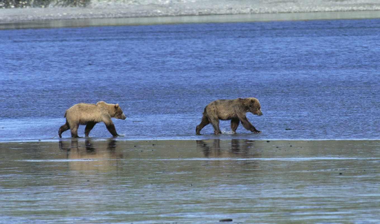 ,река, медведи, мишки, animals roaming,