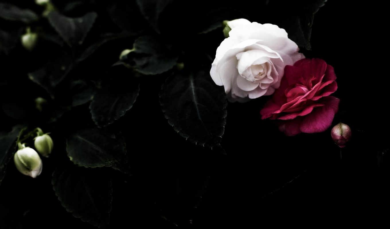 black, белые, лепестки, розы, pair, листва, красные, цветы,