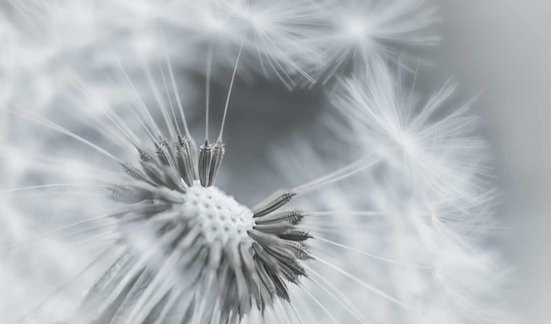макро, одуванчик, пушинки, фокус, растение, чб, цветок,