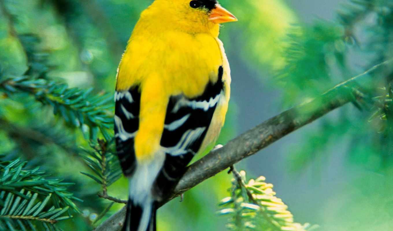 канарейка, красивые, пение, zhivotnye, птиц,