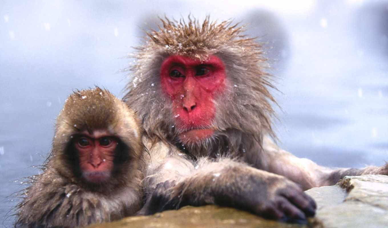zhivotnye, замерзшие, обезьяны,