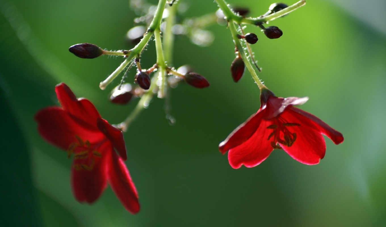 красные, цветы, бутоны, flowers, смотрите,