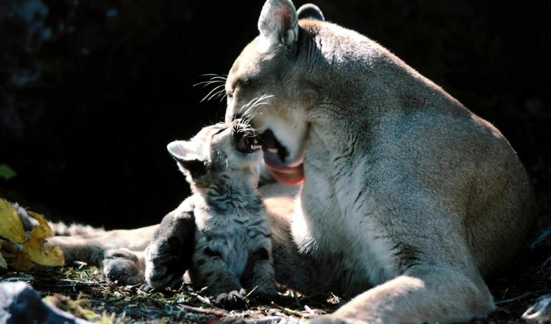 puma, onça, parda, lion, filhotes, leão, augen,