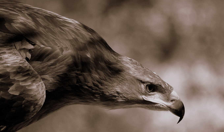 орлан, аву, орлы, беркутов, фотоохота, птицы, картинка, охоте,