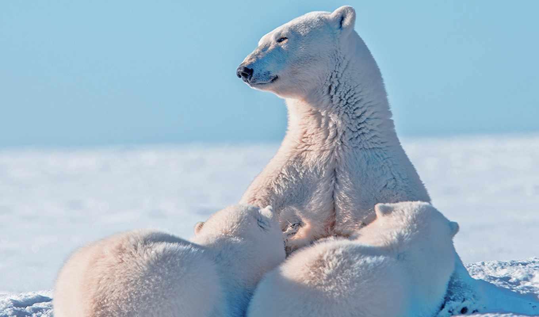 медведь, white, медведи, desktop, polar, телефон, любой, фон,