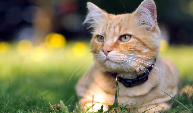 кот, red, морда, twinkle, striped, sun, греется, ошейником, подняв, cute,
