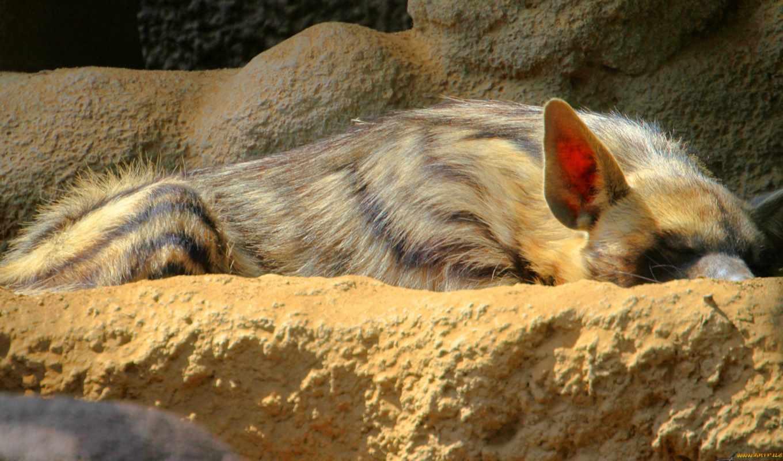 hyena, striped, nature, photo, background, animal,