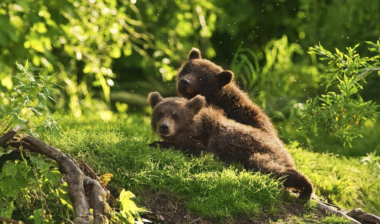 природа, животные, bears, лес, entertainment,