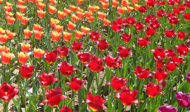 значок, flowers, весна, тюльпан,