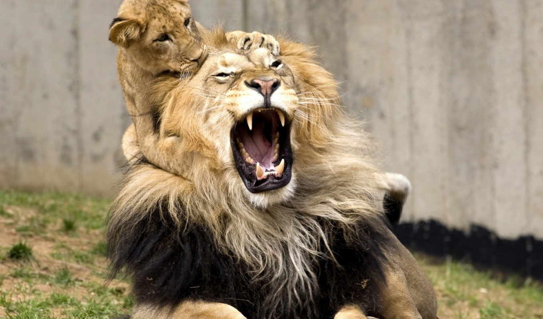 card, львы, lion, львенком, голове, красивые, коллекции, коллекциях, яndex,
