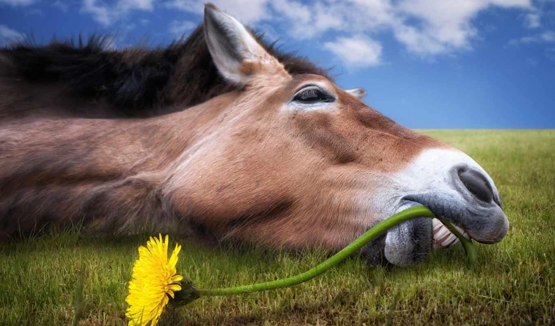 лошадь, лошади, морда, цветка, одуванчика, цветы, стебель, зубами, перекусить, трава, пытается,