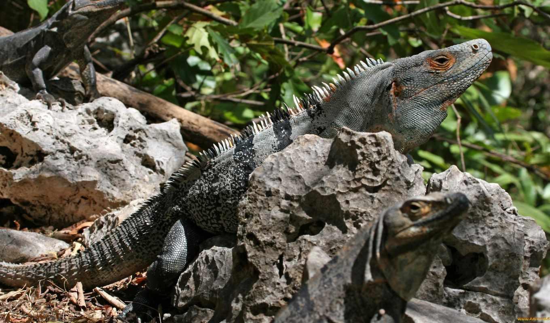 leguan, ctenosaura, similis, schwarzer, игуана, zwei, неделя, der, weibchen, leguane, их, бондо, barra, штат, чхаттисгарх, und, männchen,
