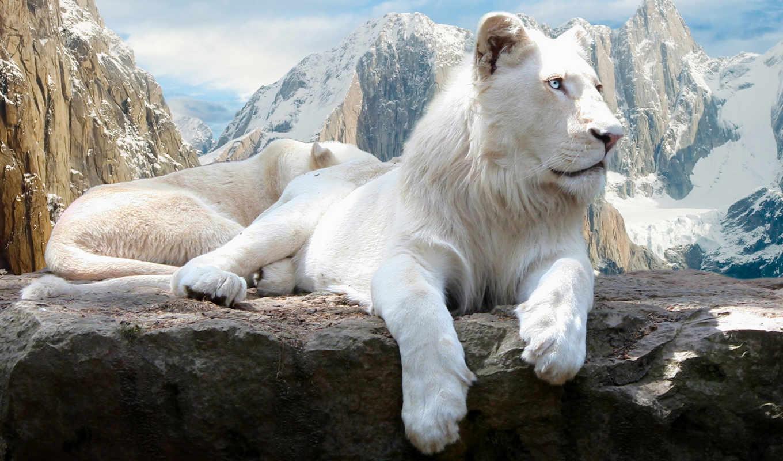 lion, white, скале, fone, горы, черном,