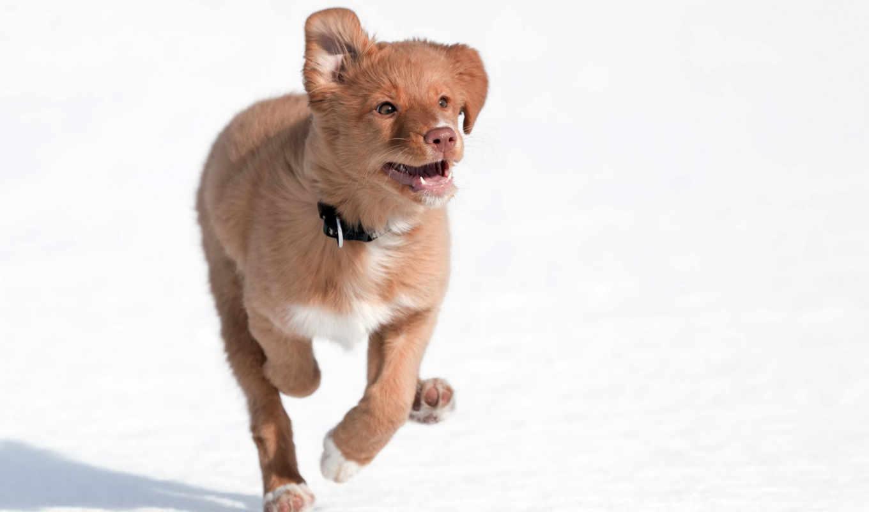 собаки, новошотландский, ретривер, зооклубе, дикие, kartinka, zhivotnye, фотография, собака,