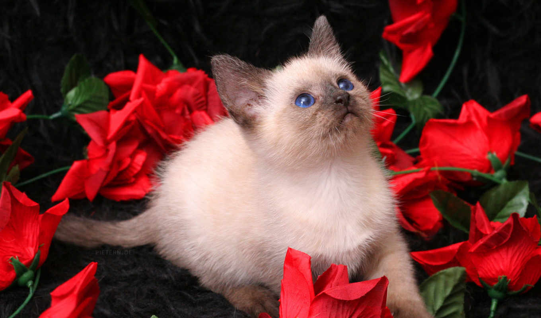 котенок, zhivotnye, кошки, котята, тайский,