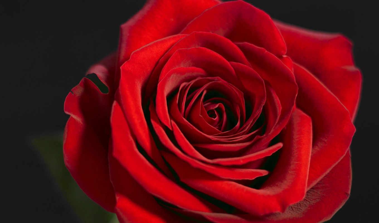 wallpapers, rose, роза, wallpaper, rouge, hd, background, to, صور, красная, fleur, red, flower, click, flowers, desktop, цветы, or, annie, червона, pack,