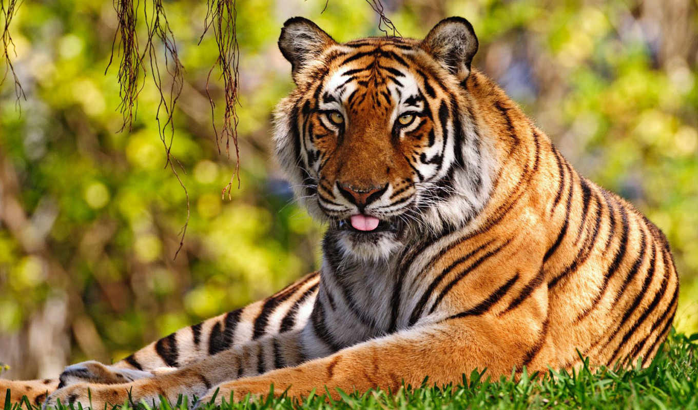wallpapers, tiger, hd, wallpaper, desktop, тапети, free, за, animals, язык, трава, тигр, photos,