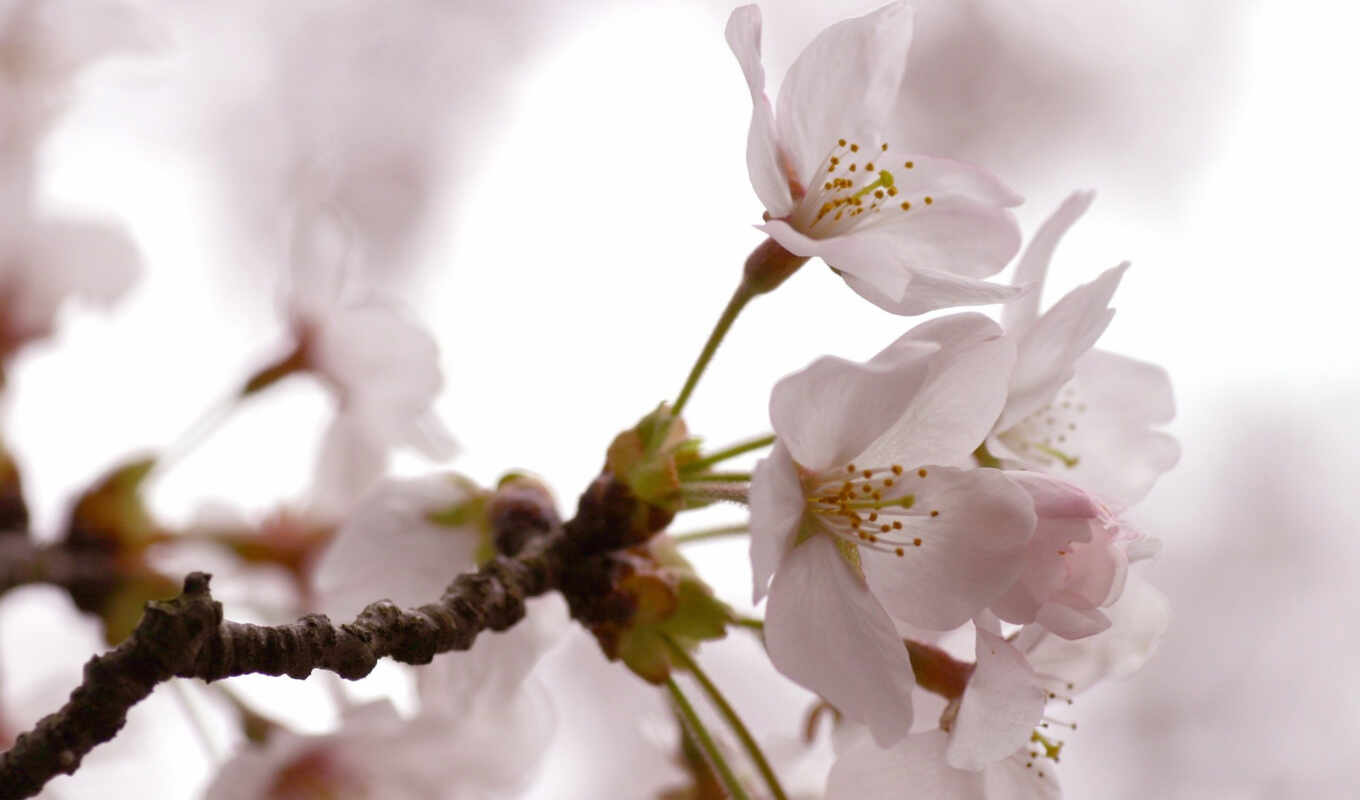 flowers, nature, spring, cherry,