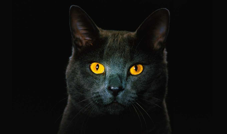 kot, глазами, чёрный, жёлтыми, fone,