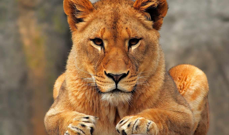 lion, молодой, камне, ipad,