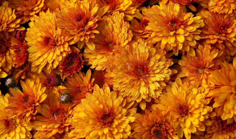 хризантемы, цветы, букет, оранжевые,