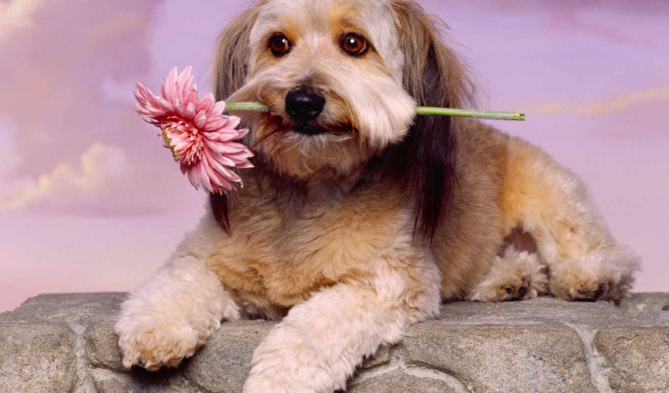wallpapers, dog, with, hd, toy, wallpaper, flower, glen, terrier, imaal, чтобы, and, картинку, desktop, animal, íæá, to, free, download,