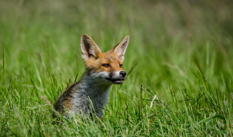 животные, лисы, картинкой, страница, фокс,
