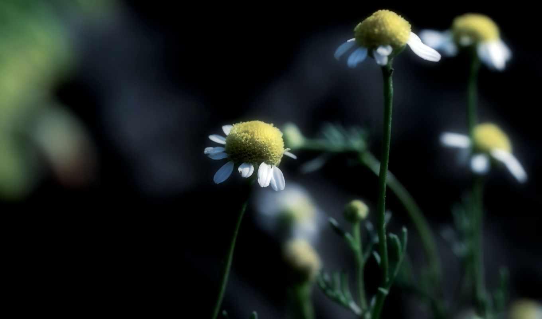 ромашки, focus, цветы, макро, высоком,