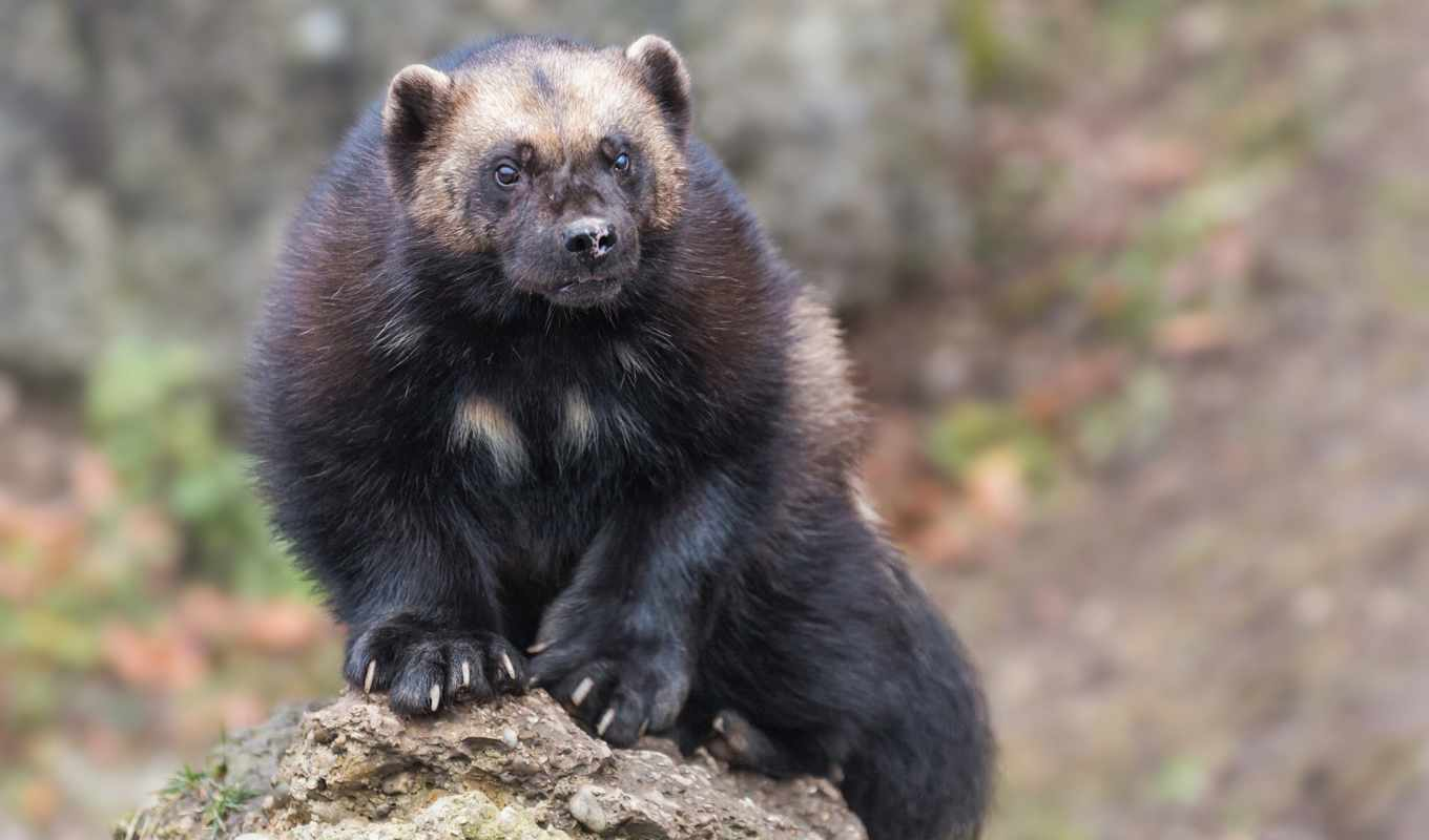 wolverine, animal, zhivotnye, камни, tapety, zoom, фото,