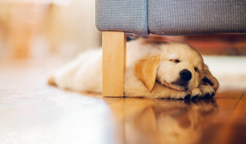 , puppie, retriever, sleeping,