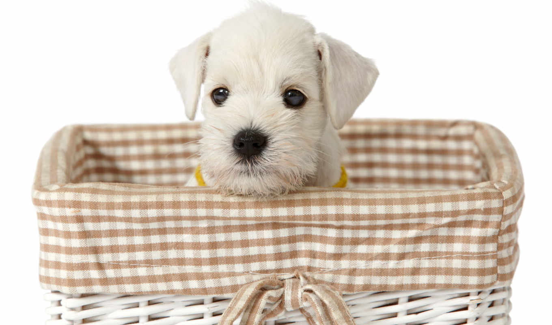 tapety, pies, pulpit, maltańczyk, darmowe, szczeniak, zwierzeta, biały, wysokiej, maltese,
