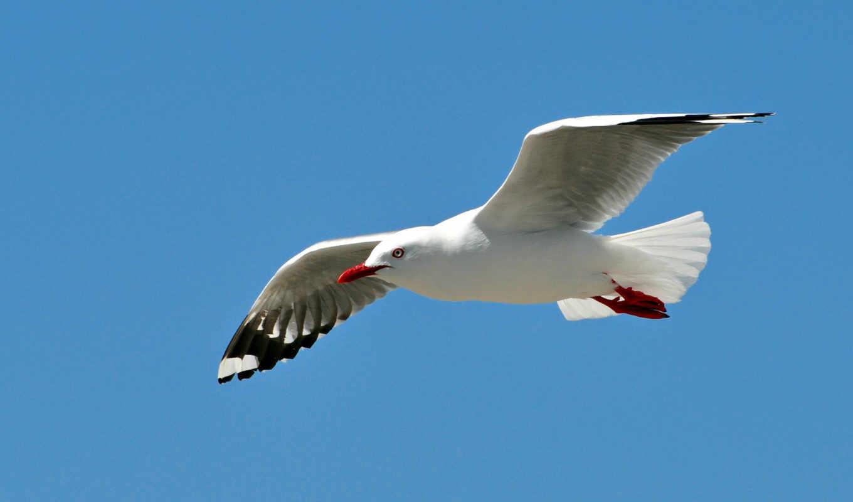 чайка, полет, небо, птица, волна, крылья, море,