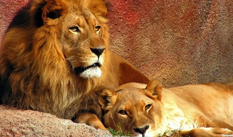 lion, львы, мультфильма, characters, главные, ждать, голодный, you, king,