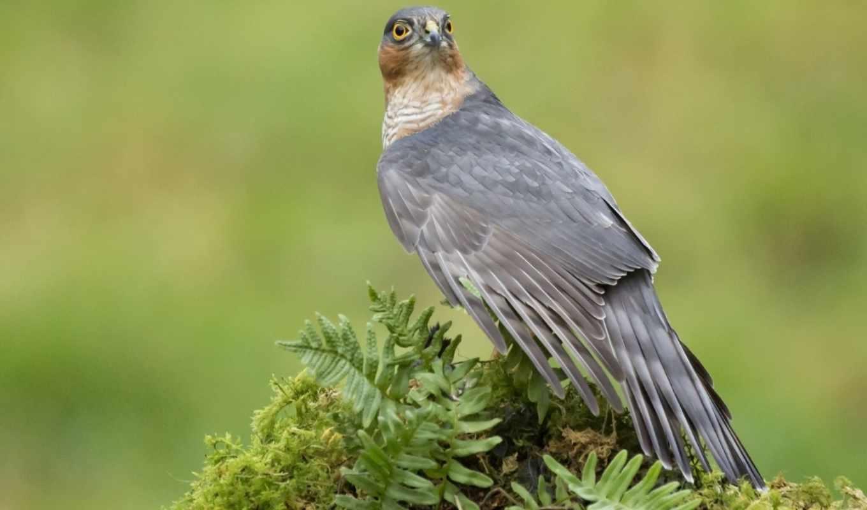 птица, hawk, хищник,
