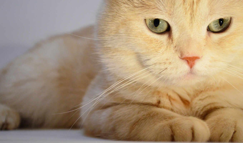 кот, zhivotnye, свет, лежит, кошки, animals,